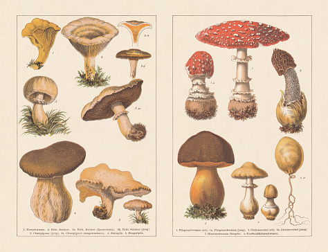 Edible and poisonous mushrooms, chromotypogravures, published in 1894