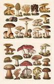 Edible mushrooms, top: 1) Saffron milk cap (Lactarius deliciosus); 2) Morel (Morchella esculenta); 3) Ramaria aurea (or Clavaria flava); 4) Gyromitra esculenta (or Helvella esculenta); 5) Golden chanterelle (Cantharellus cibarius); 6) Périgord truffle (Tuber melanosporum); 7) Sweet tooth (Hydnum repandum); 8) Slippery jack (Suillus luteus, or Boletus luteus); 9) Penny bun (Boletus edulis); 10) The Miller (Clitopilus prunulus, or Agaricus prunulus); 11) Parasol mushroom (Macrolepiota procera, Lepiota procera or Agaricus procerus); 12) Meadow mushroom (Agaricus campestris); 13) Birch bolete (Leccinum scabrum, or Boletus scaber). Toxic mushrooms, bottom: 1) False chanterelle (Hygrophoropsis aurantiaca, or Cantharellus aurantiacus); 2) The Sickener (Russula emetica); 3) Death cap (Amanita phalloides, or Agaricus phalloides); 4) Earthball (Scleroderma citrinum, or Scleroderma aurantiacum); 5) Grass green russula (Russula aeruginea, or Russula furcata); 6) woolly milkcap (Lactarius  torminosus); 7) Bitter beech bolete (Caloboletus calopus, or Boletus pachypus); 8) Satan's bolete (Rubroboletus satanas, or Boletus Satanas); 9) Yellow stagshorn (Calocera viscosa); 10) Fly agaric (Amanita muscaria, or Agaricus muscarius); 11) Sulphur tuft (Hypholoma fasciculare, or Agaricus fascicularis); 12) Lurid bolete (Suillellus luridus, or Boletus luridus). Chromolithograph, published in 1897.