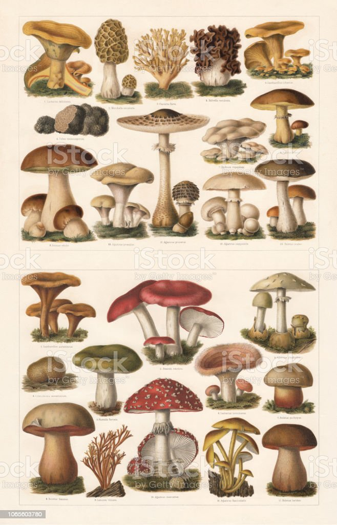 Edible and toxic mushrooms, chromolithograph, published in 1897 vector art illustration