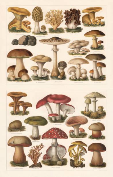 식용과 유독한 버섯, chromolithograph, 1897 년에 출판 - 버섯 stock illustrations