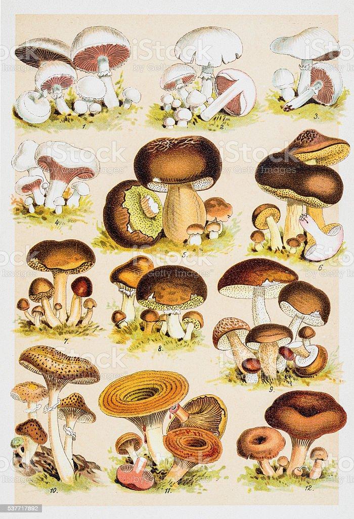 Edible Mushrooms Antique Chromolithograph 1884 vector art illustration