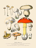 Very Rare, Beautifully Illustrated Antique Engraved Victorian Botanical Illustration of Edible Mushrooms: Plate 3, Published in 1886. Source: Original edition from my own archives. Copyright has expired on this artwork. Digitally restored.