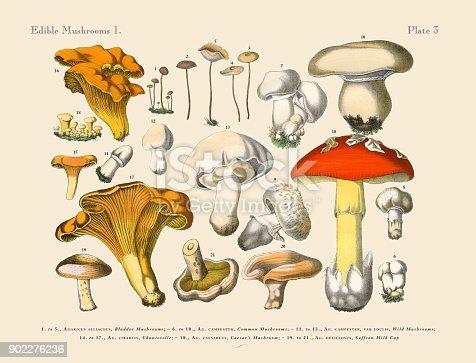 Edible Mushrooms, Victorian Botanical Illustration