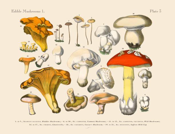 식용 버섯, 빅토이라 식물학 일러스트 - 버섯 stock illustrations