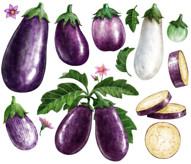 illustrazioni stock, clip art, cartoni animati e icone di tendenza di eggplant watercolor illustration, isolated on white with working path - melanzane
