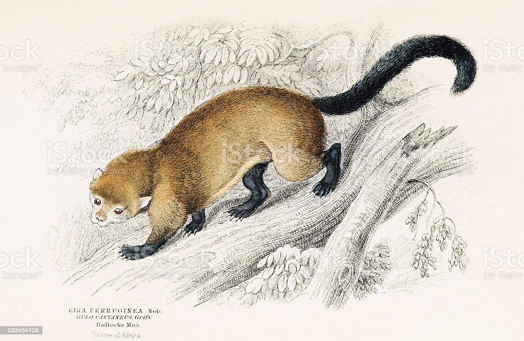 Belette Eira gravure 1855 - Illustration vectorielle