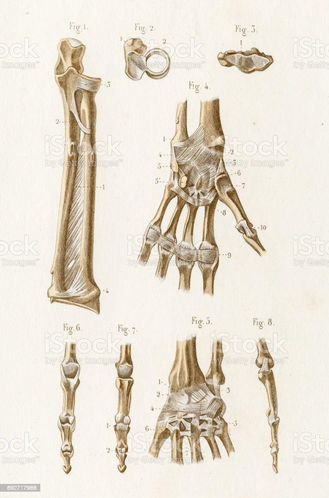 Ellenbogen Gemeinsame Anatomie 1886 Gravur Stock Vektor Art und mehr ...