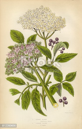 Very Rare, Beautifully Illustrated Antique Engraved Elderberry, Elder, Berry, Black Elder, European Elder, European Elderberry, Victorian Botanical Illustration, from The Flowering Plants and Ferns of Great Britain, Published in 1846. Copyright has expired on this artwork. Digitally restored.