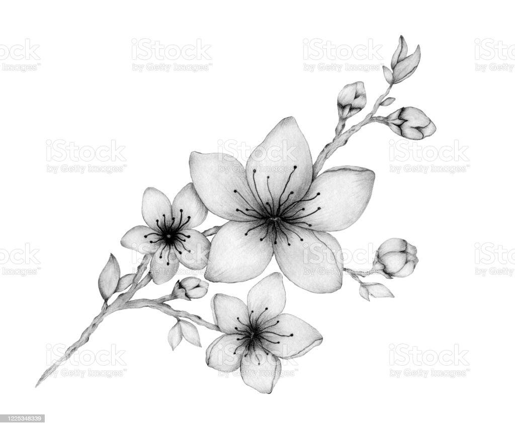 Branche Elegante De Fleur De Cerisier Isolee Sur Lillustration Blanche Et Romantique De Dessin De Crayon Avec Des Fleurs Realistes De Sakura Vecteurs Libres De Droits Et Plus D Images Vectorielles De Arbre