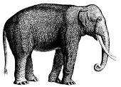 Elephant | Antique Animal Illustrations