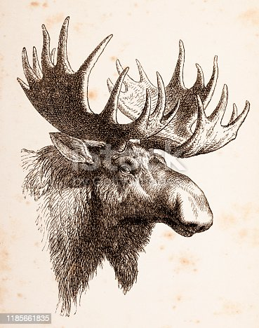 Elk male animal head Original edition from my own archives Source :
