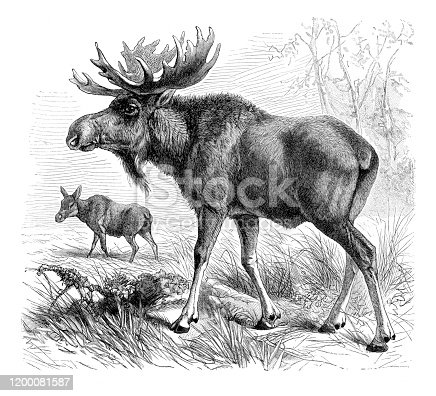 istock Elk moose illustration 1200081587