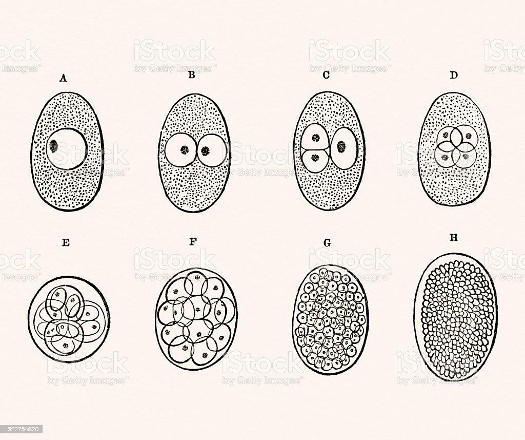 Embryo Development 19 century medical illustration vector art illustration