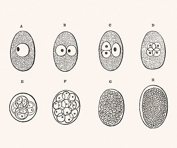 "Embryo Development 19 century medical illustration Photograph of the original illustration from ""A System of Human Anatomy"" by Erasmus Wilson published in 1859. human blastocyst stock illustrations"
