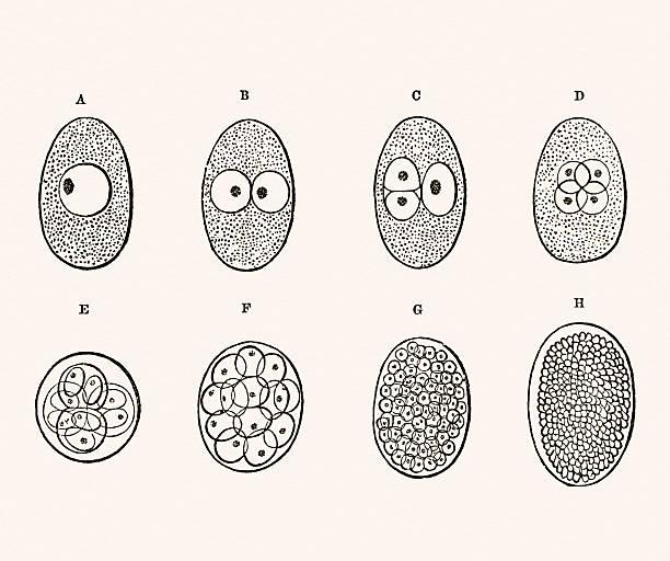 ilustraciones, imágenes clip art, dibujos animados e iconos de stock de desarrollo del embrión médica medio siglo 19 - medicina del deporte