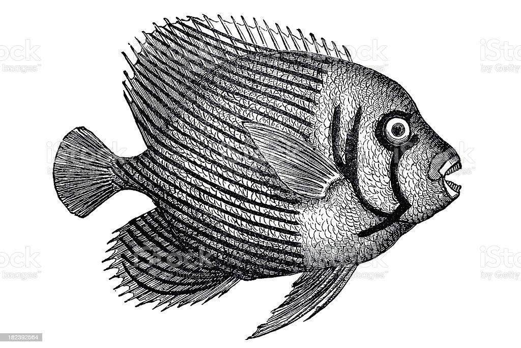 Emperor Angelfish (Pomacanthus imperator) royalty-free stock vector art