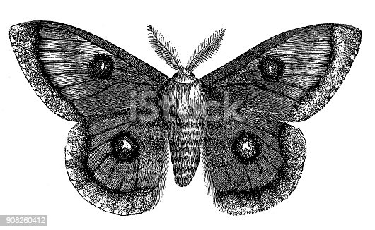 istock Emperor Moth (Saturnia Tau) 908260412