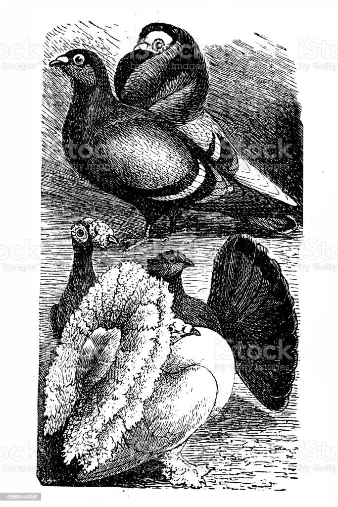 English Carrier and English Fantail pigeon vector art illustration