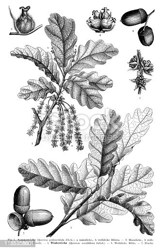 English oak ( Quercus robur, syn. Quercus pedunculata ) Original edition from my own archives Source :
