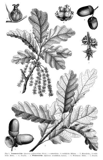 English oak leaf and seed 1897 vector art illustration