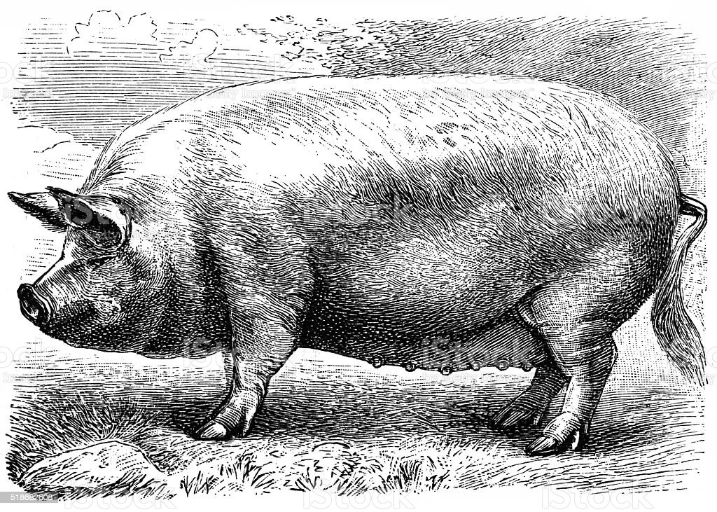 English pig vector art illustration