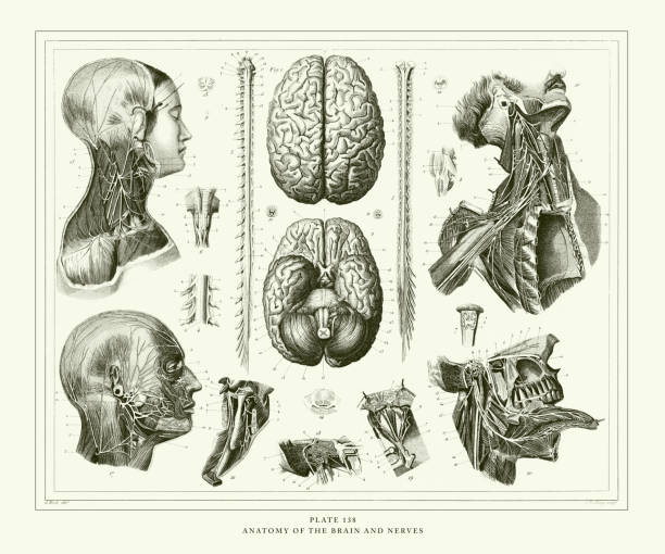 Engraved Antique, Anatomy of the Brain and Nerves Engraving Antique Illustration, Published 1851 Anatomy of the Brain and Nerves Engraving Antique Illustration, Published 1851. Source: Original edition from my own archives. Copyright has expired on this artwork. Digitally restored. sciatic nerve stock illustrations