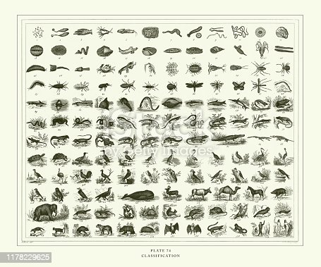 Classification of Animal Species Engraving Antique Illustration, Published 1851. Source: Original edition from my own archives. Copyright has expired on this artwork. Digitally restored.