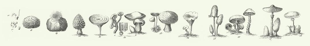 Engraved Antique, Fungi, Representatives of the Algae, Fungi, Bryophyta, Polypodiophyta and other Nonflowering plants Engraving Antique Illustration, Published 1851