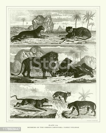 Members of the Order Carnivora: Family Felidae Engraving Antique Illustration, Published 1851. Source: Original edition from my own archives. Copyright has expired on this artwork. Digitally restored.