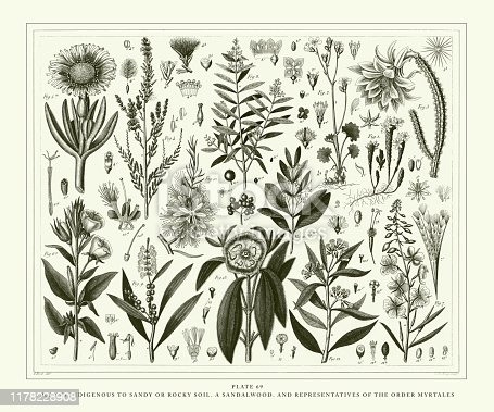 Plants Indigenous to Sandy or Rocky Soil; A Sandalwood, and Representatives of the Order Myrtales Engraving Antique Illustration, Published 1851. Source: Original edition from my own archives. Copyright has expired on this artwork. Digitally restored.