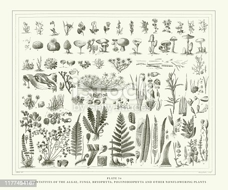 Representatives of the Algae, Fungi, Bryophyta, Polypodiophyta and other Nonflowering plants Engraving Antique Illustration, Published 1851. Source: Original edition from my own archives. Copyright has expired on this artwork. Digitally restored.