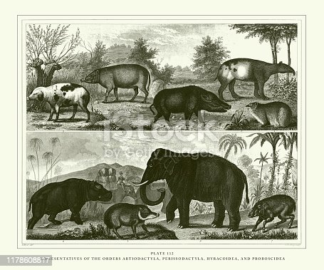 Representatives of the Orders Artiodactyla, Perissodactyla, Myracoidea and Proboscidea Engraving Antique Illustration, Published 1851. Source: Original edition from my own archives. Copyright has expired on this artwork. Digitally restored.