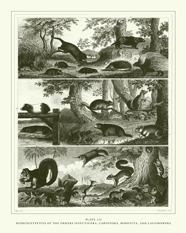 Engraved Antique, Representatives of the Orders Insectivora, Carnivora, Rodentia, and Lagomorpha Engraving Antique Illustration, Published 1851