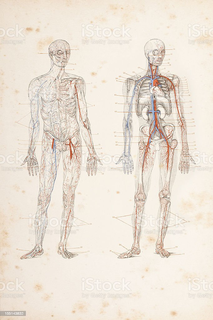Engraving blood circulation in human body 1882 vector art illustration