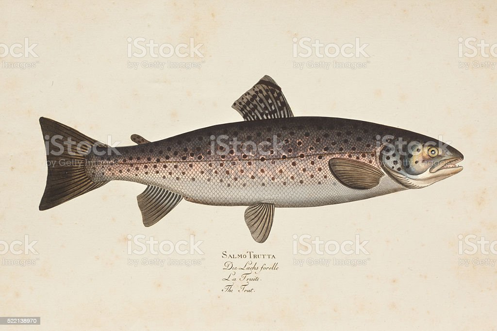 Engraving brown trout fish from 1785 vector art illustration