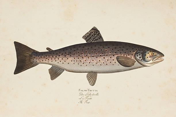 illustrazioni stock, clip art, cartoni animati e icone di tendenza di incisione marrone trota pesce da 1785 - trout