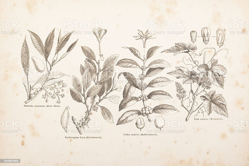 Engraving coffee,hop, kola nut, coca bunch, vine from 1882 royalty-free stock vector art