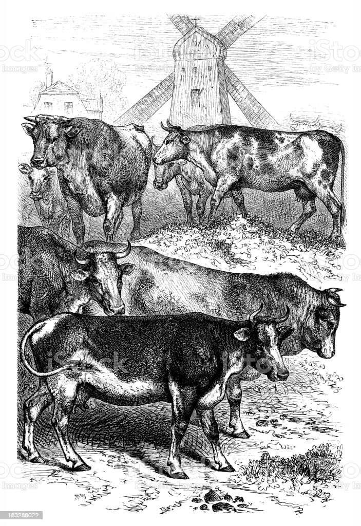Engraving Cows in Netherland with windmill vector art illustration