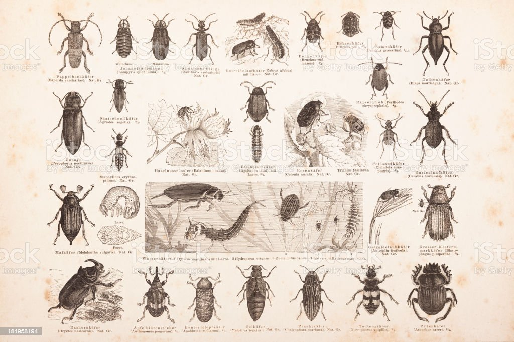 Engraving different insects beetles from 1878 royalty-free engraving different insects beetles from 1878 stock vector art & more images of 18th century