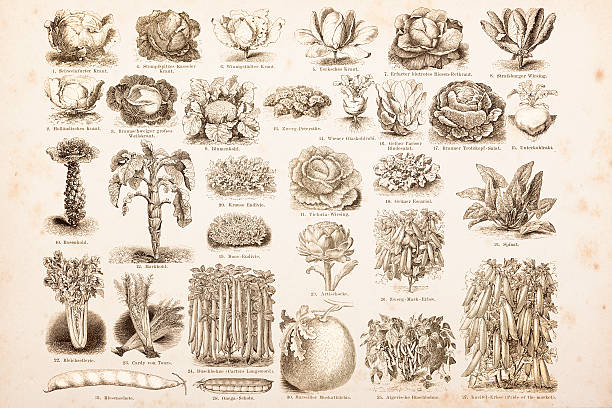 stockillustraties, clipart, cartoons en iconen met engraving drawings vegetables from 1882 - 18e eeuwse stijl