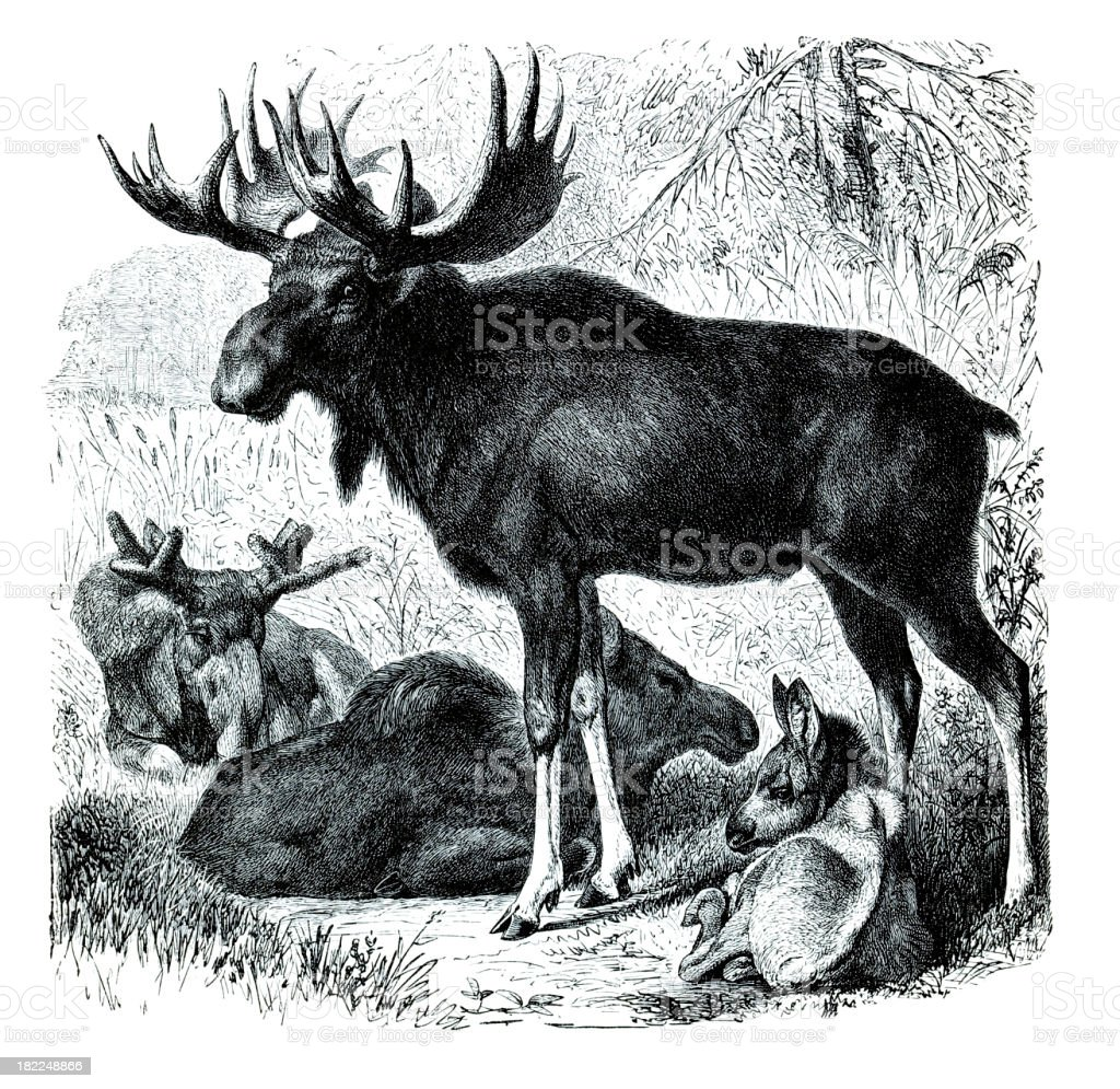 Engraving elk bull with family royalty-free engraving elk bull with family stock vector art & more images of 18th century