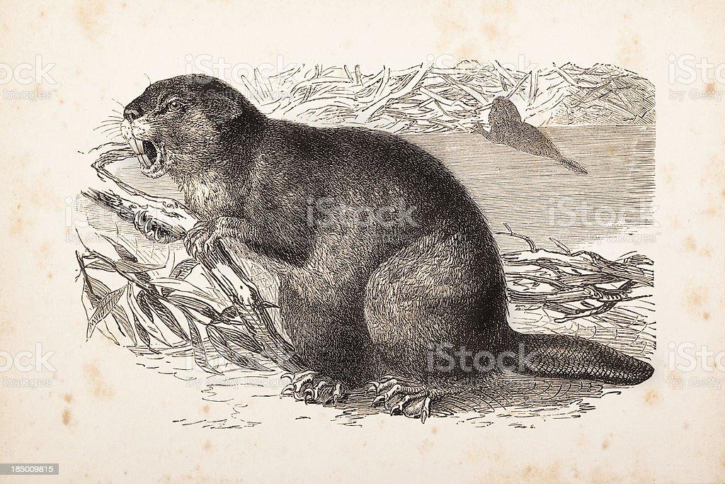 Gravure de castor européen en 1877 - Illustration vectorielle