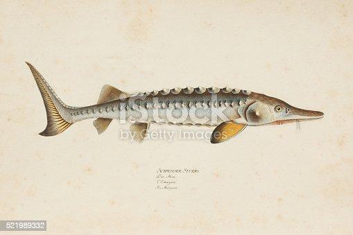 Steel engraving of European sea sturgeon ( Acipenser Sturio ) from 1785