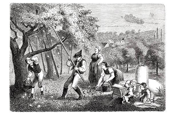 ilustrações de stock, clip art, desenhos animados e ícones de gravação agricultor escolher maçãs na plantação de fruta 1835 - picking fruit
