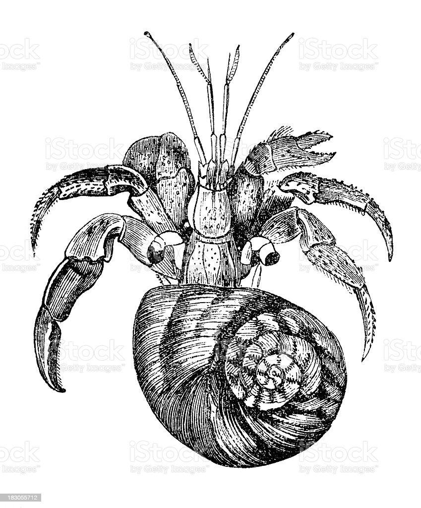 Engraving Hermit Crab Cenobita Isolated On White Stock Vector Art ...