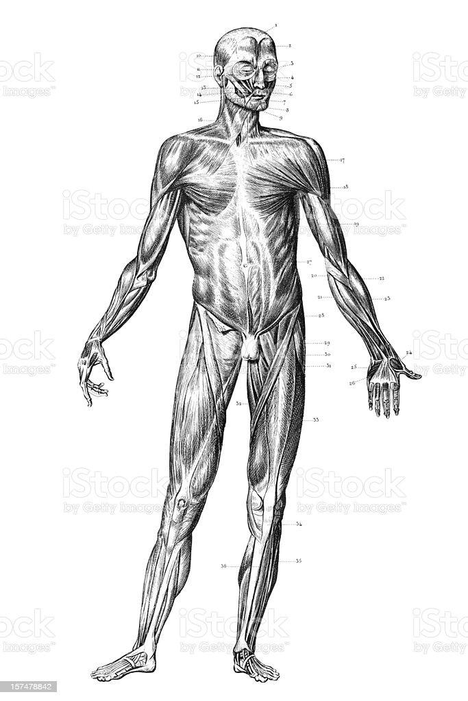 Ilustración de Grabado Cuerpo Humano Con Los Músculos 1851 y más ...