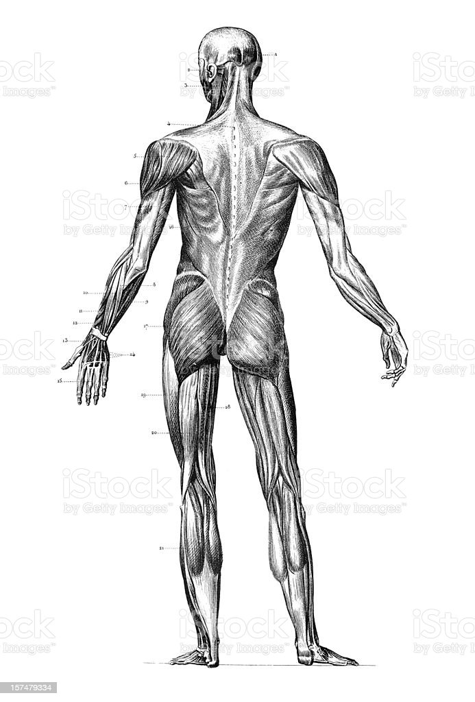 Engraving human body with muscles 1851 vector art illustration