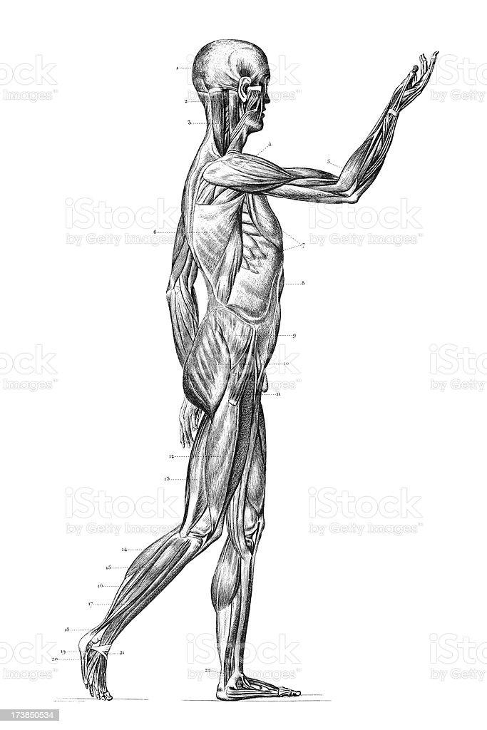 Gravieren Menschliche Körper Mit Muskeln 1851 Vektor Illustration ...