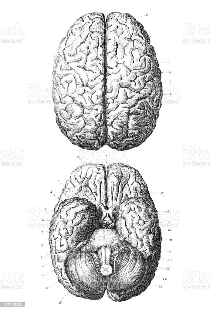 Engraving human brain 1851 vector art illustration