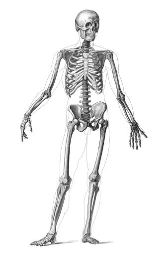 Engraving human skeleton 1851